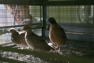 caged, masked, bobwhite, captive, breeding, facility