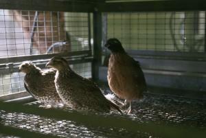caged, masked, bobwhite, captive, breeding, facility