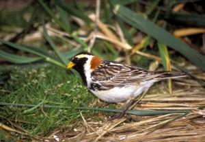 calcarius, lapponicus, lapland, longsour, bird, breeding, plumage, animal
