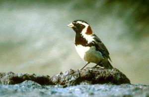 calcarius lapponicus, lapland, bird, animal