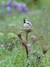 calcarius, lapponicus, lapland, longspur, bird