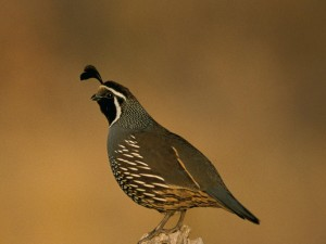 california, quail, bird, callipepla, californica