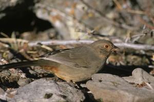 california, towhee, bird, pipilo, crissalis