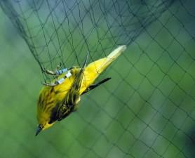 pequeña curruca amarilla, animal, pájaro, neto