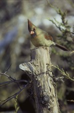 female, northern cardinal, tree, cardinalis, cardinalis