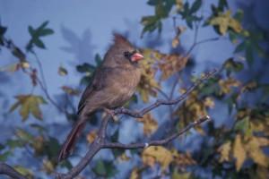 cardinal, bird, branch