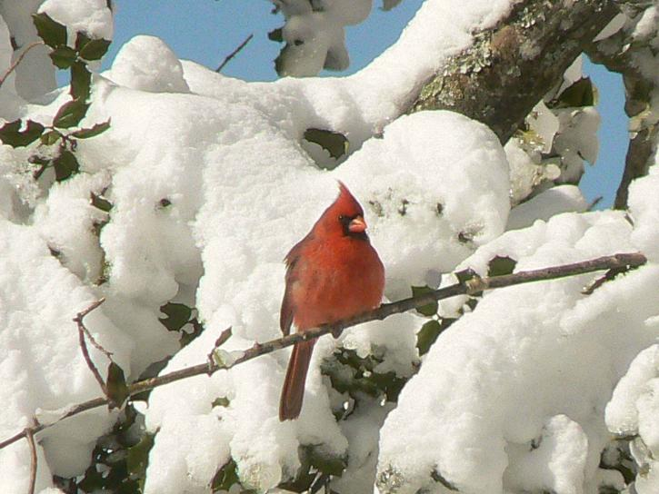 cardinal, sitting, snowy, pine, tree, branch