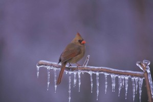 female, northern cardinal, frozen, branch
