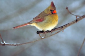 northern cardinal, bird, cardinalis, cardinalis, small, snowy, tree, branch