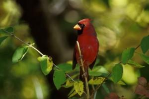 northern cardinal, bird, male, cardinalis, cardinalis