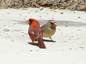 pair, cardinalis, birds, male, female, ground, cardinalis, cardinalis