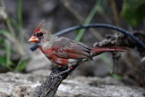 percher, cardinal, oiseau, le catholicisme