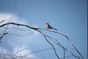 Стромбус, кардинал, pyrrhuloxia, птицы, кардиналы, пустыня