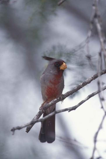 pyrrhuloxia, deserto, cardinale, uccello, allevamento, piume, cardinalis sinuatus