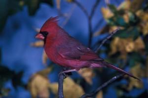 rouge, cardinal, photographié, percher, branche