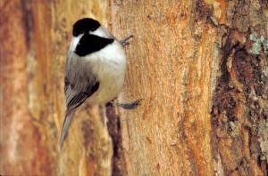 Carolina, chickadee, fugl