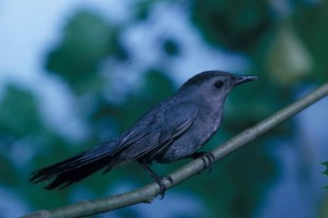 catbird, branch