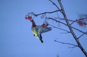 雪松, 连, 鸟, 喂养, 浆果
