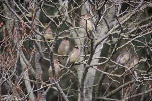 cedar, waxwings, bird, branches