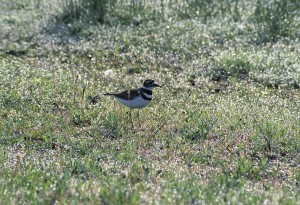 charadrius vociferus, killdeer, bird