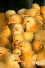 Baby, kycklingar
