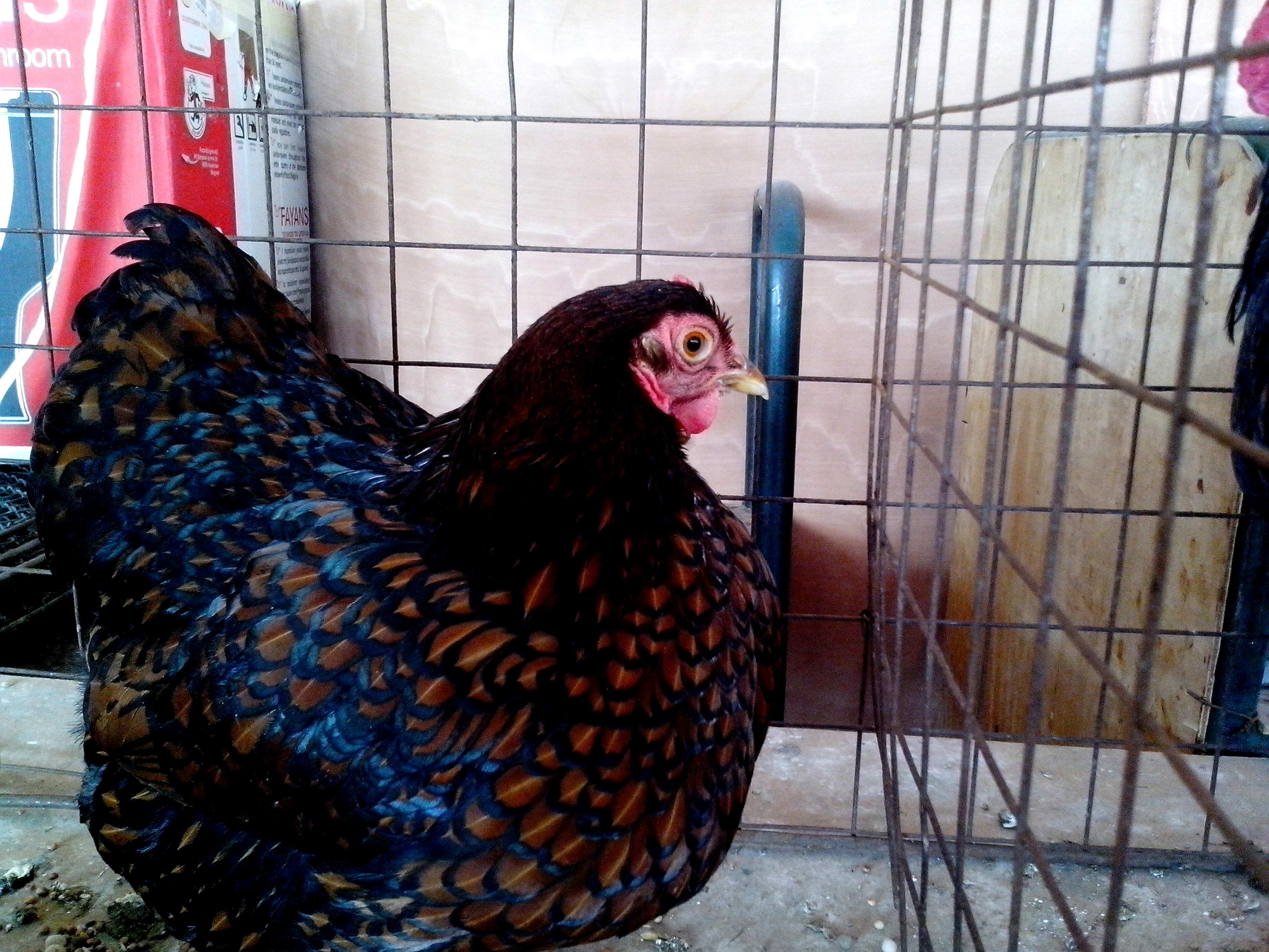 Free photograph; beautiful, chicken, dark, colorful, feathers