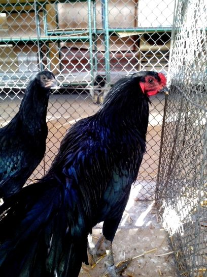 black, decorative, rooster, hen