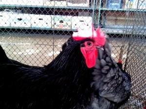 black, domestic chickens