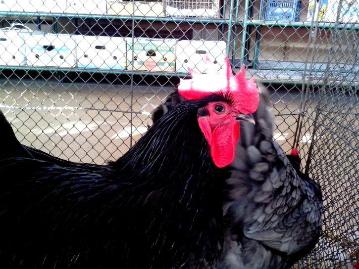 black, domestic, chickens