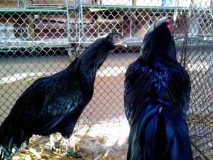 Черно, петел, пиле, блестящ, перушина