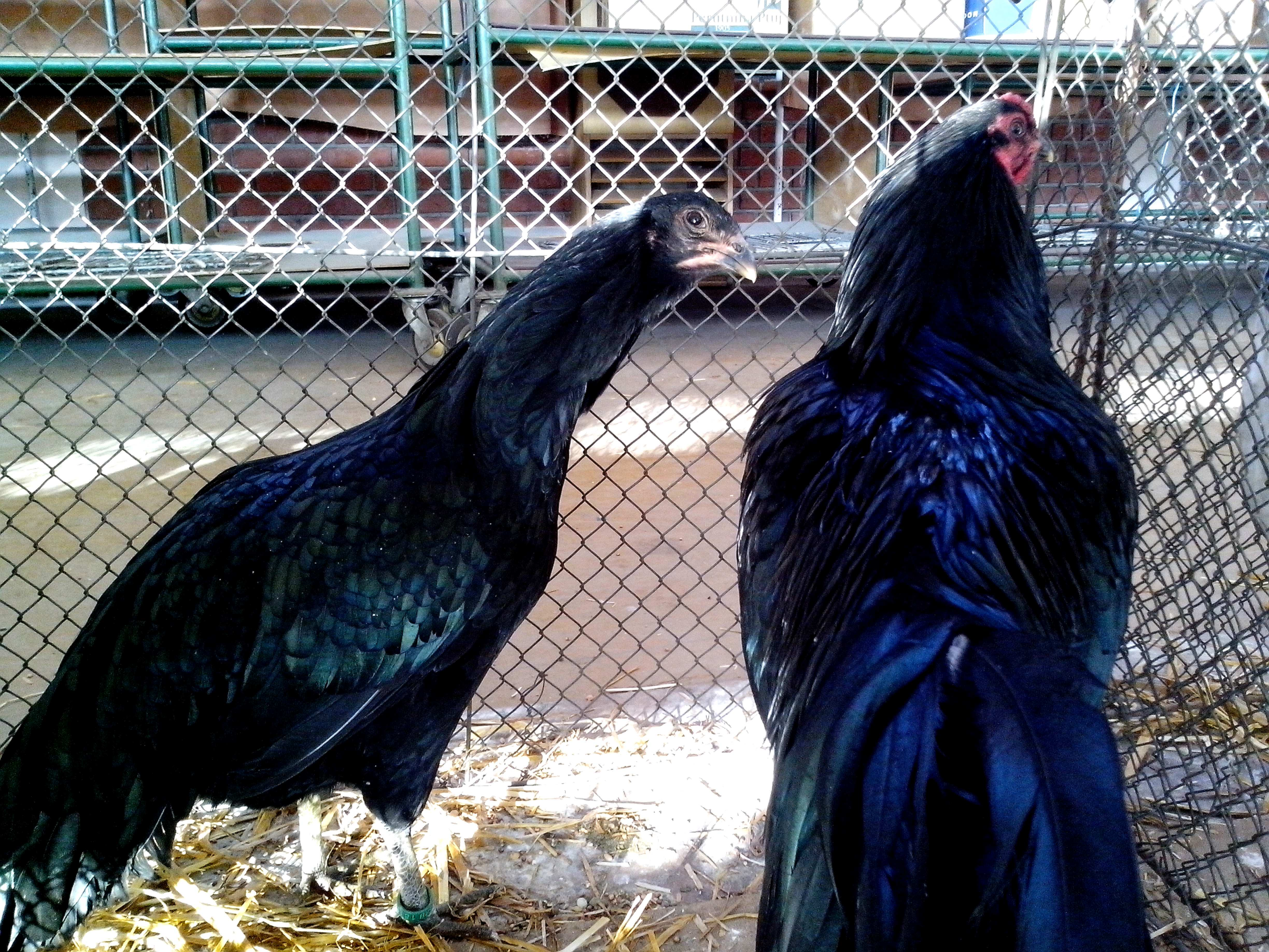 Free photograph; black, rooster, chicken, brilliant, plumage