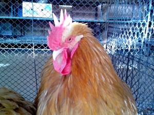 bright orange, rooster, head