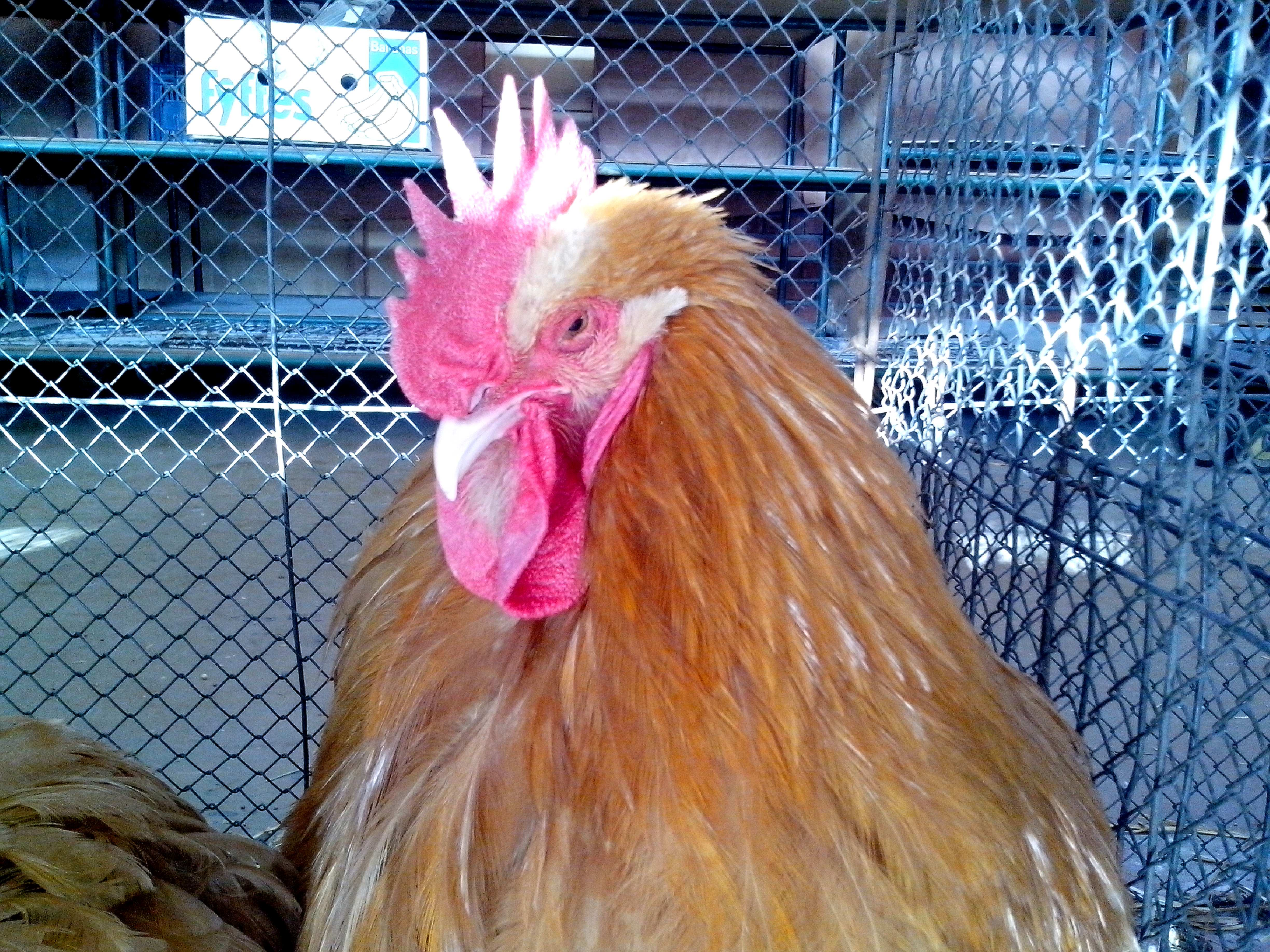 Free photograph; bright, orange, rooster, head