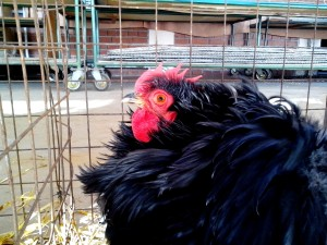chicken, fluffy, feathers