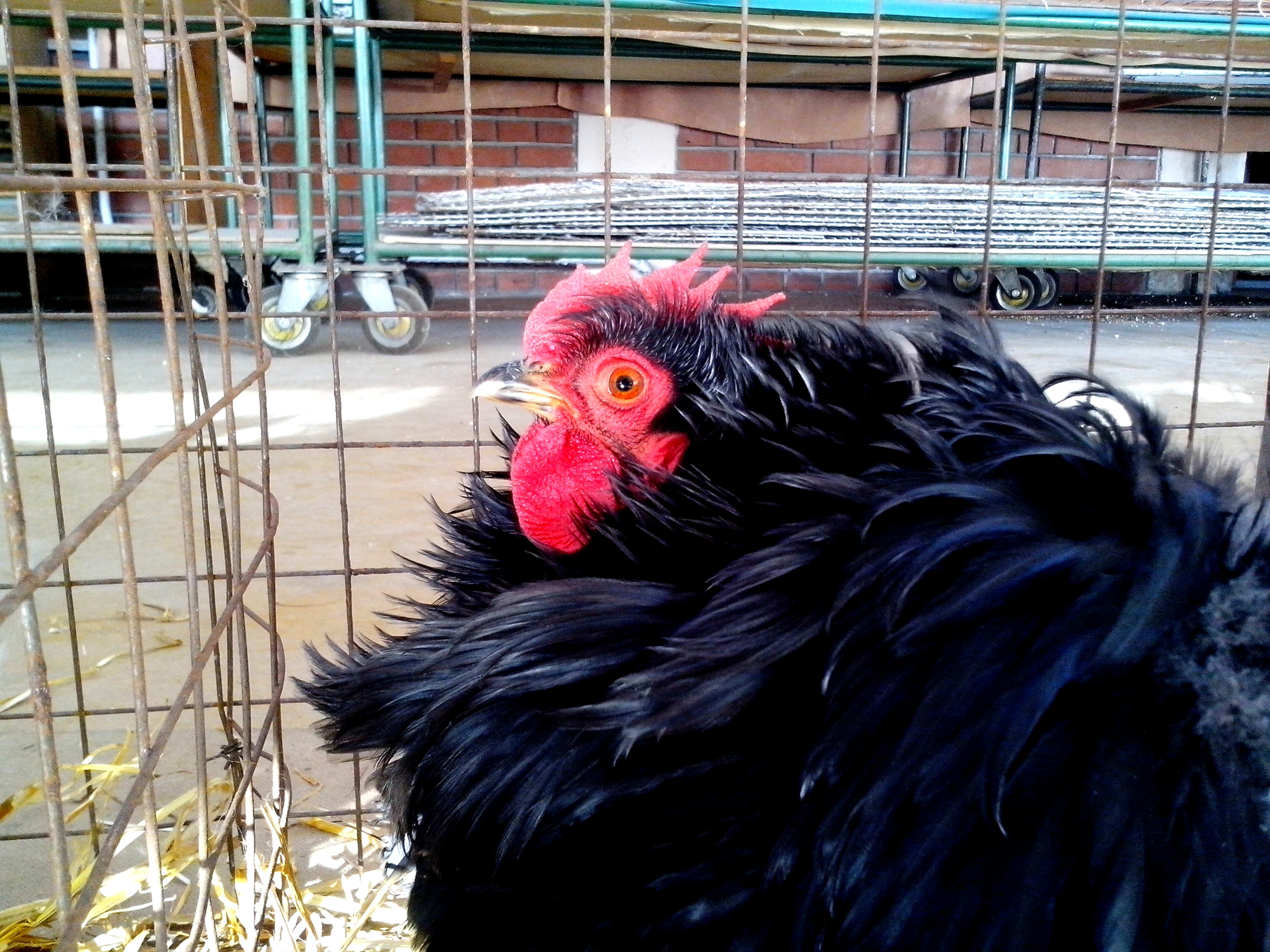 Free photograph; chicken, fluffy, feathers