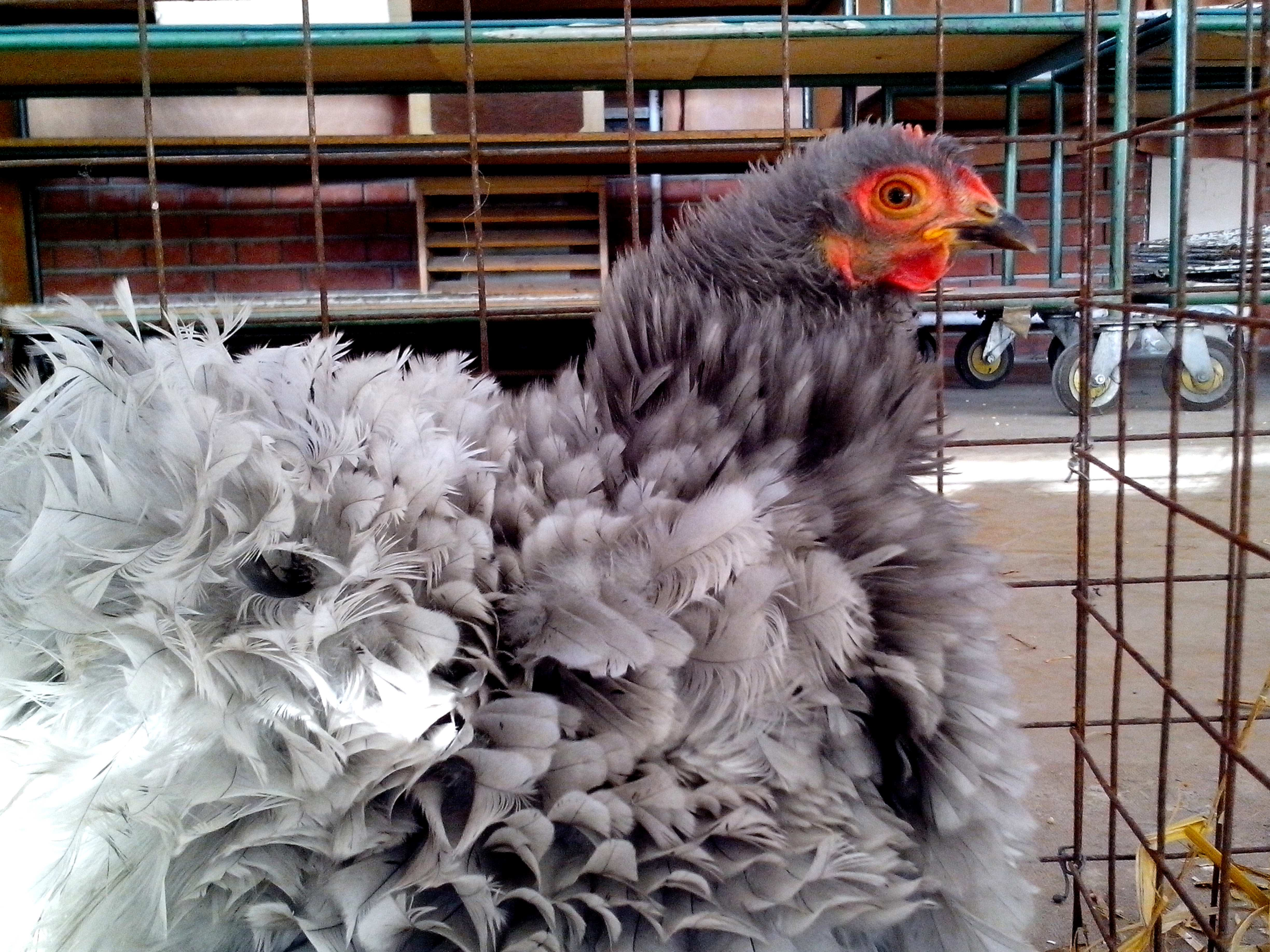 Free photograph; chicken, fluffy, tail