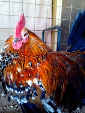colorful, orange, red, rooster