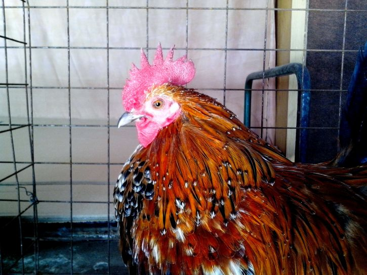 colorful, rooster, head