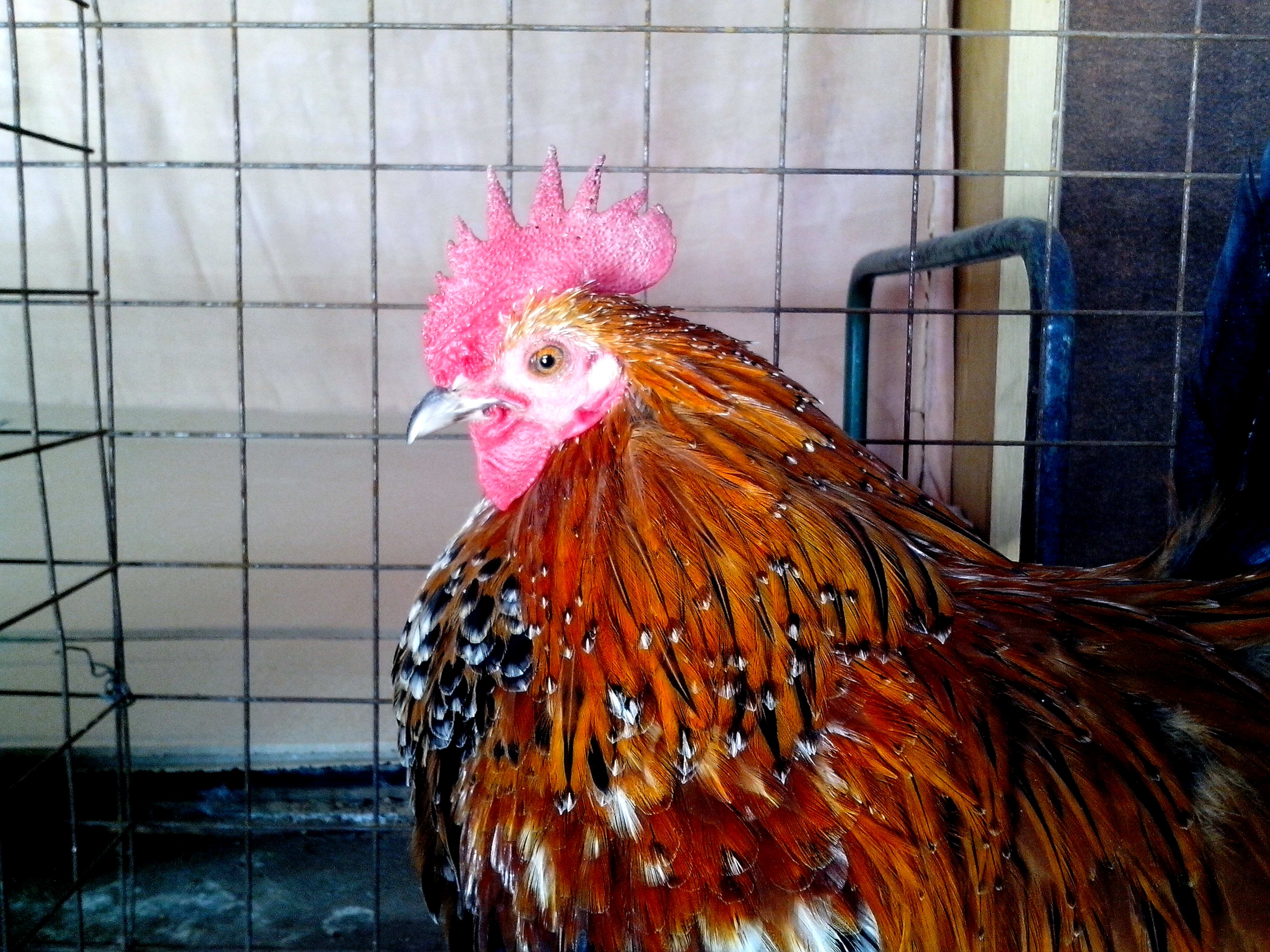 Free photograph; colorful, rooster, head