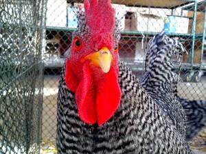 grigio, bianco, gallo, rosso brillante, guance, cresta, testa