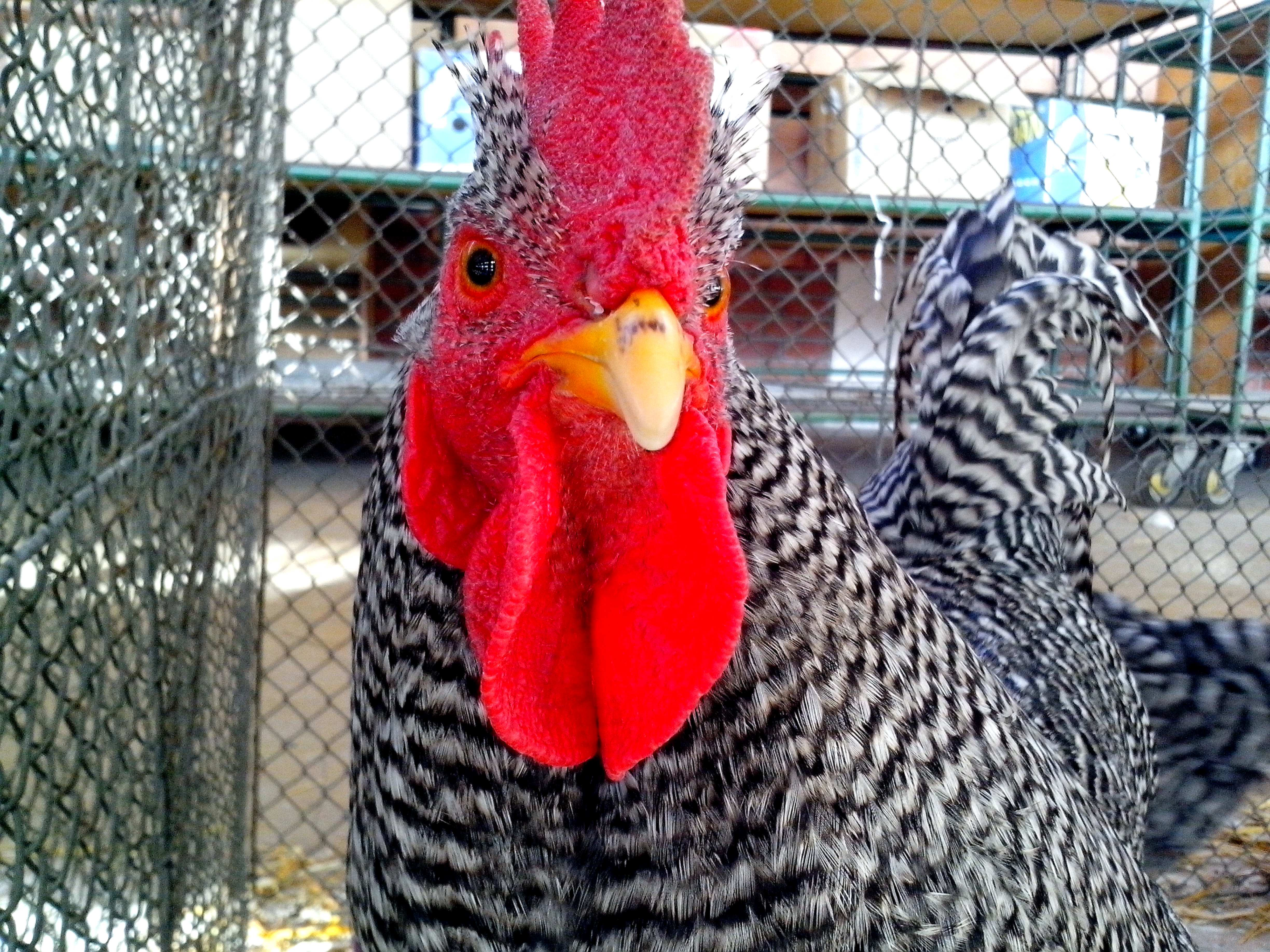 Free photograph; gray, white, rooster, bright, red, cheeks, crest, head