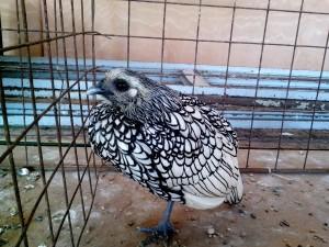 ornemental, volaille, exposition d'oiseaux