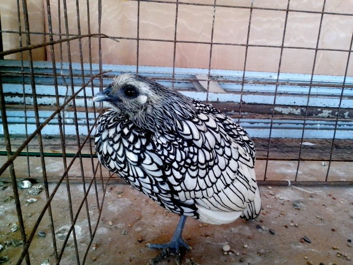 ornamental, poultry, bird exposition