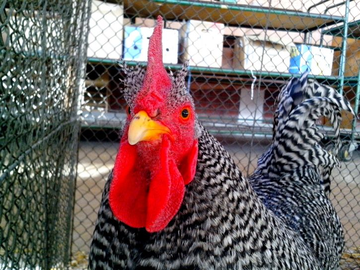 rooster, bright, red, cheeks, crest, head