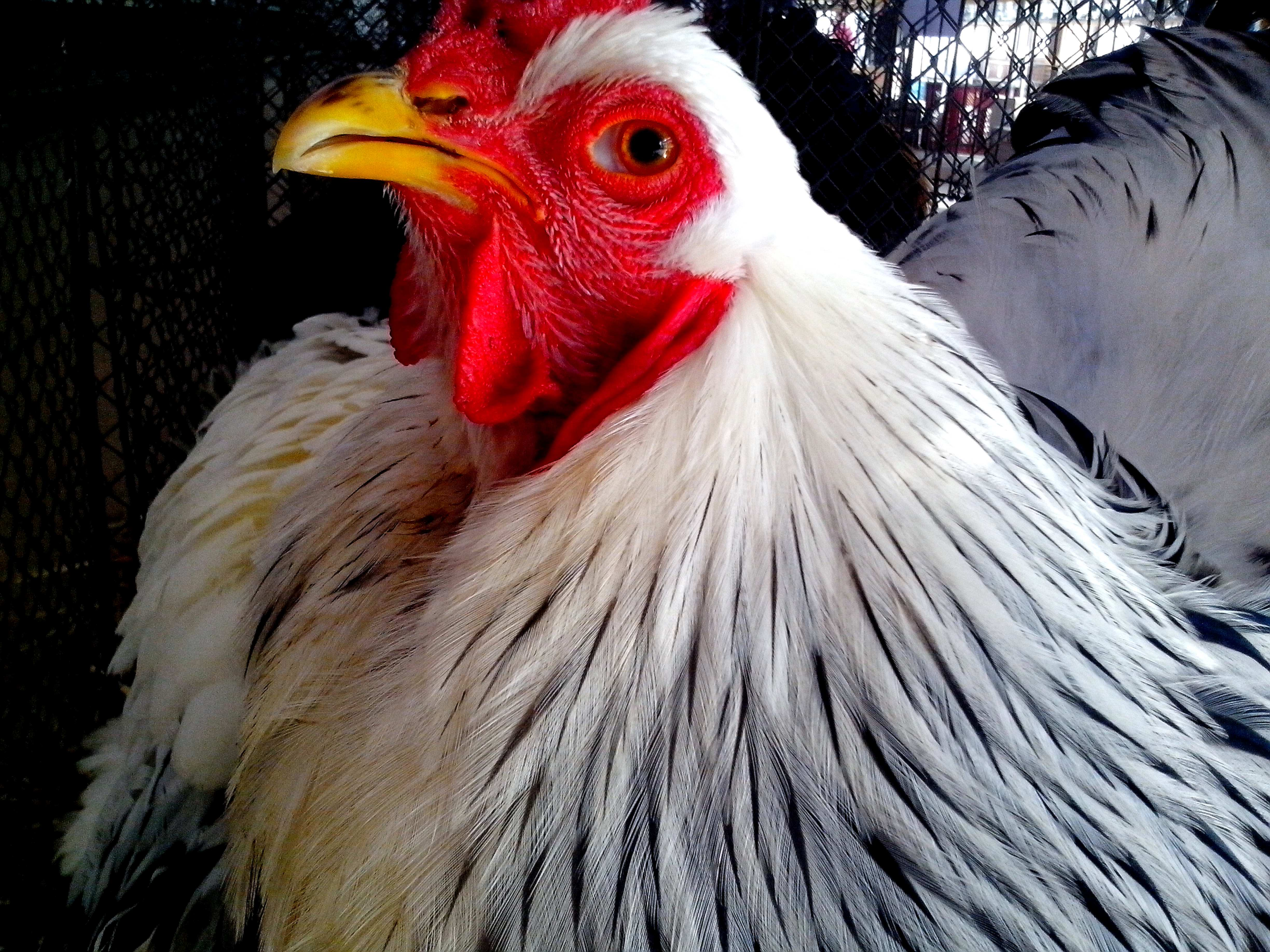 Free photograph; white, rooster, face, close