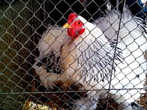 white, rooster, chicken, cage