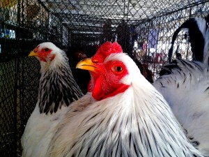 blanc, coq, poulet