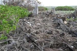 chicks, adults, birds, washed, vegetation, tsunami