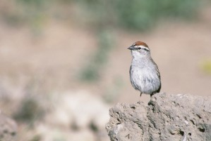chipping, sparrow, bird