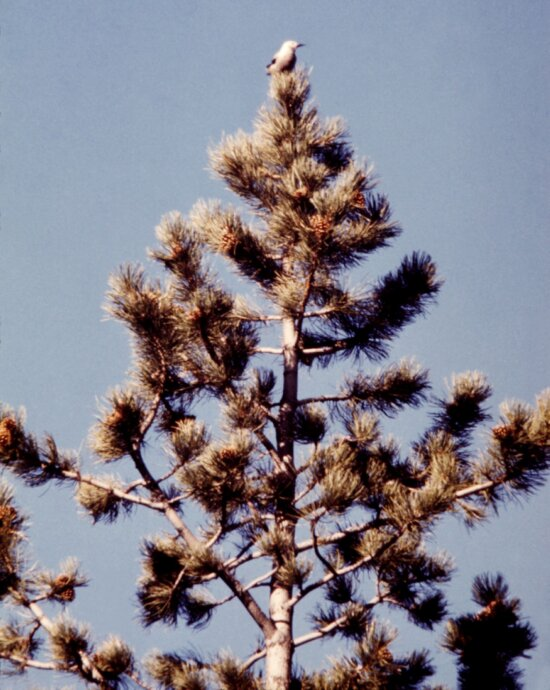 clarks, nutcracker, nucifraga columbiana, photographed, tree